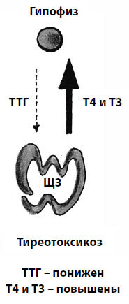 Глава 8. Сердце под ударом. Про тиреотоксикоз — избыток гормонов щитовидной железы