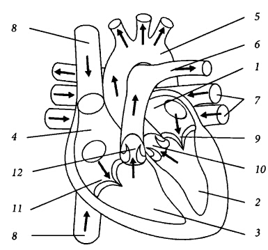 Глава 1. Анатомия и физиология сердца