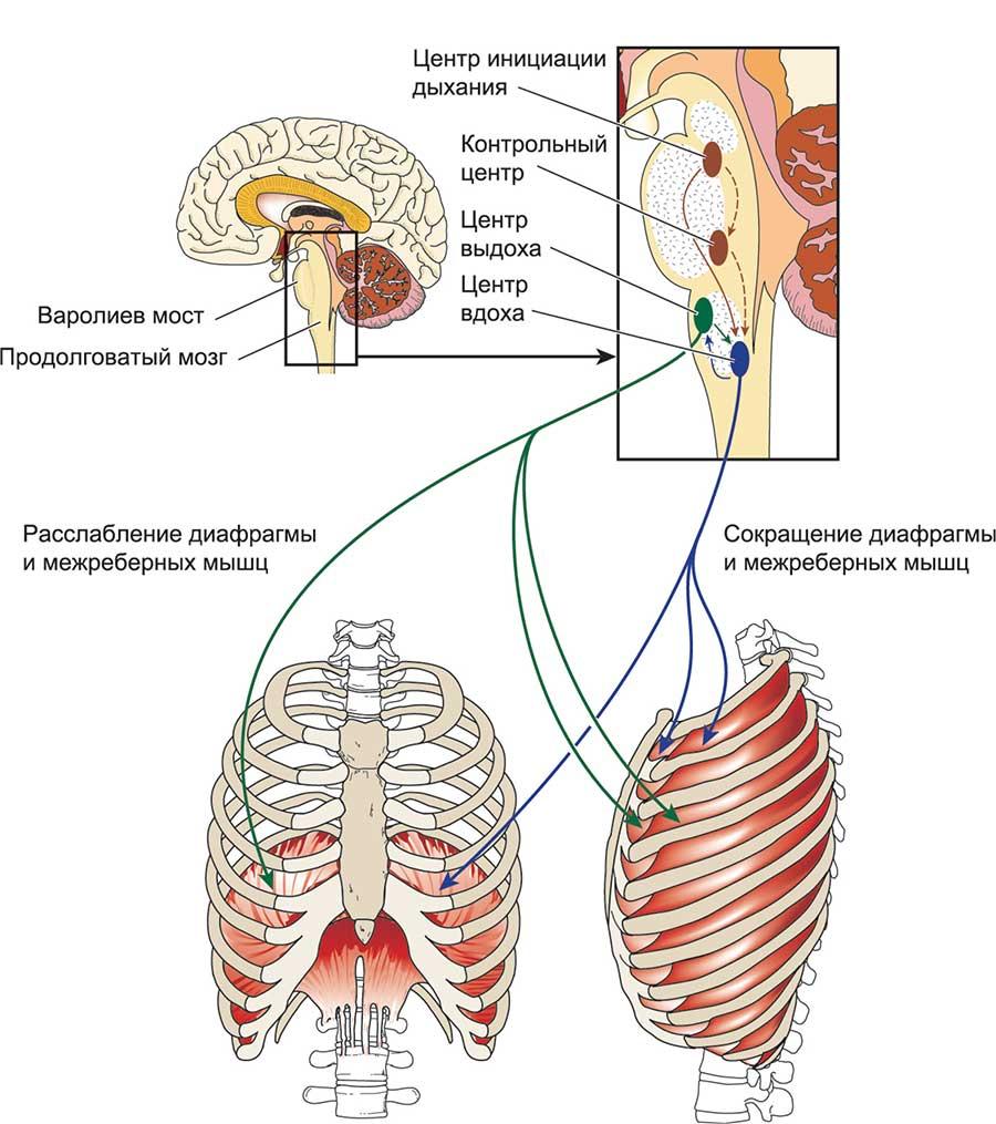 Физиология и функции дыхательной системы
