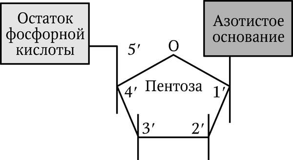 2.1. Структура нуклеиновых кислот