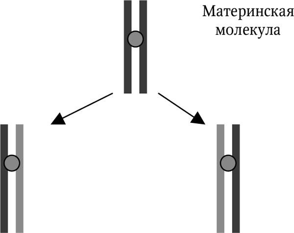 2.2. Репликация ДНК