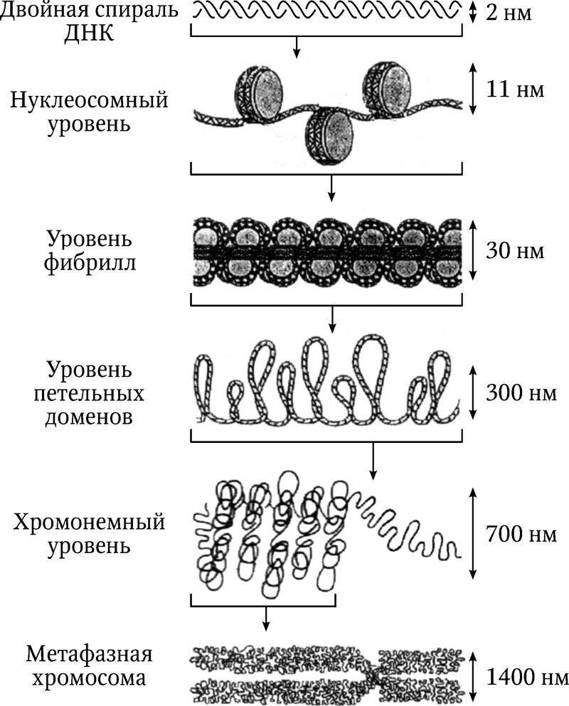 3.3. Структура хромосом