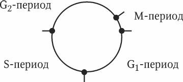 3.4. Клеточный цикл и митоз