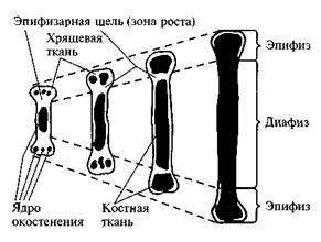 Рост и развитие костного скелета