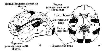 Речь и ее мозговая организация
