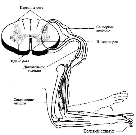 Роль двигательных областей коры, базальных ганглиев и таламуса в организации движений