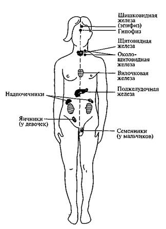 Важнейшие железы внутренней секреции