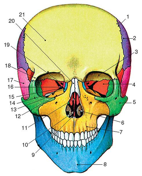 строение человеческого черепа с картинками дло