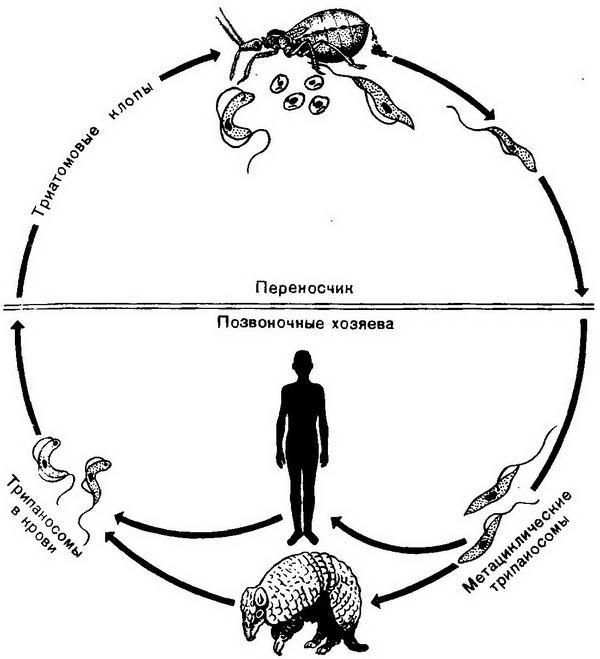 Трипаносомы