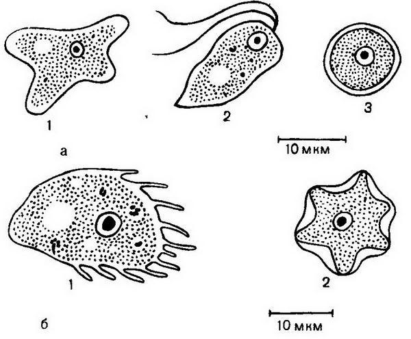 Свободноживущие патогенные амебы