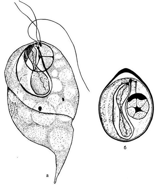 Непатогенные жгутиковые кишечника