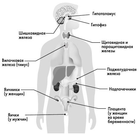ЭНДОКРИННАЯ СИСТЕМА состав, функции и лечение