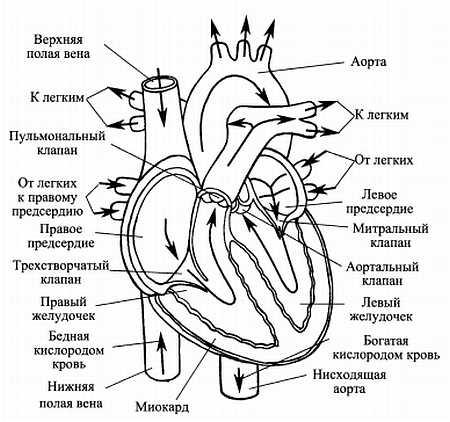 Как выглядит сердце (в разрезе, стрелки показывают направление тока крови)