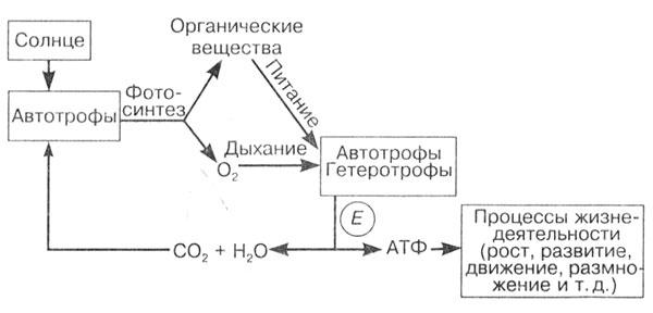 Рис.3. Поток вещества и энергии в биосфере