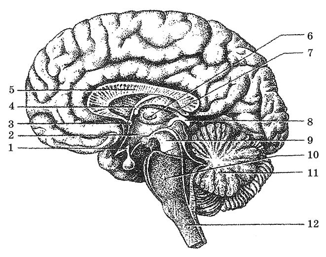 Рис.44. Медиальная поверхность головного мозга на срединном его разрезе: