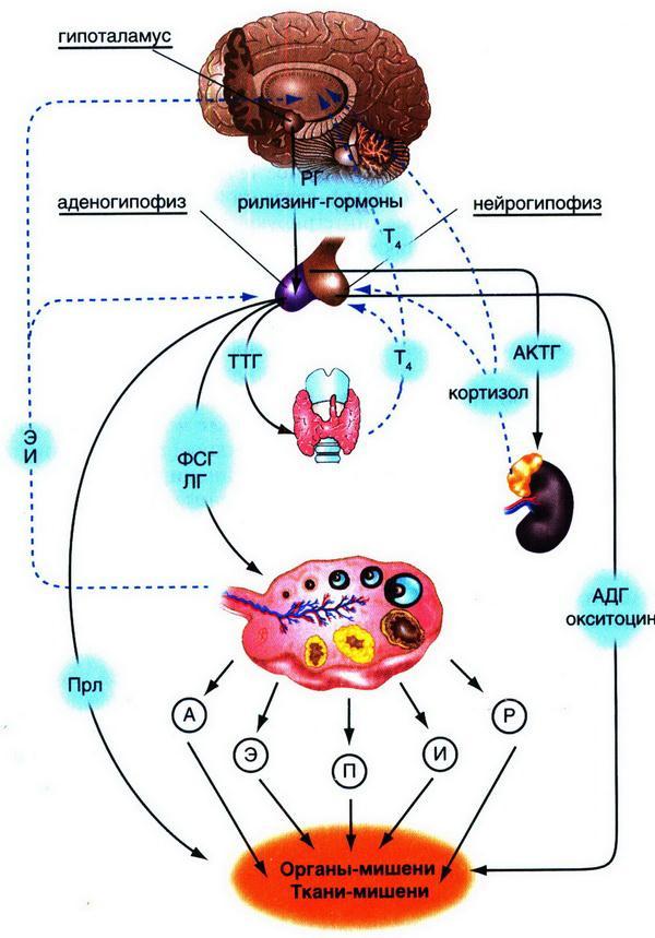 Глава 2. Нейроэндокринная <a href='https://med-tutorial.ru/m-lib/b/book/67479903/22' target='_self'>регуляция менструального цикла</a>
