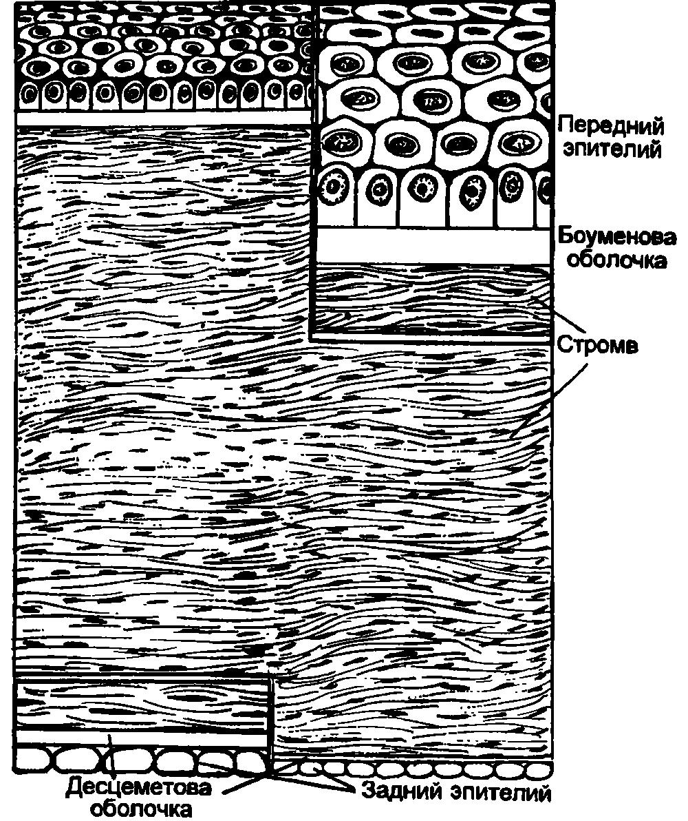 Строение и функции роговицы