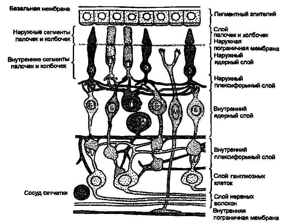 Анатомия и нейрофизиология сетчатки