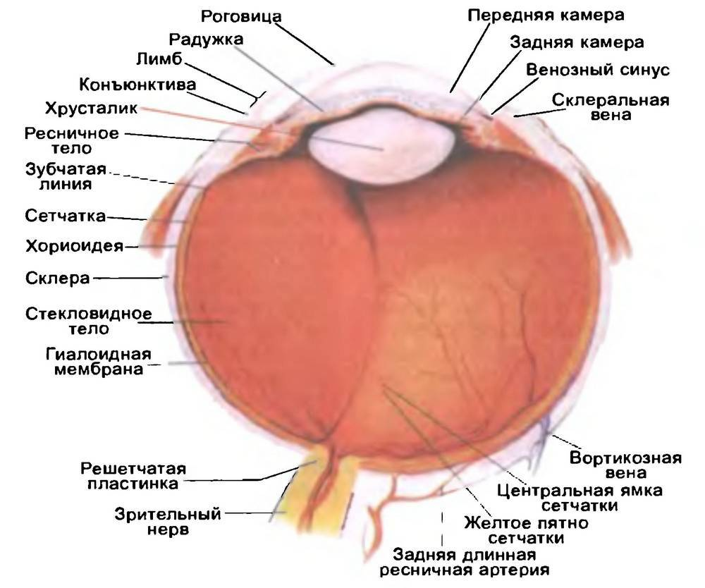 Фиброзная оболочка глаза (tunica fibrosa bulbi)