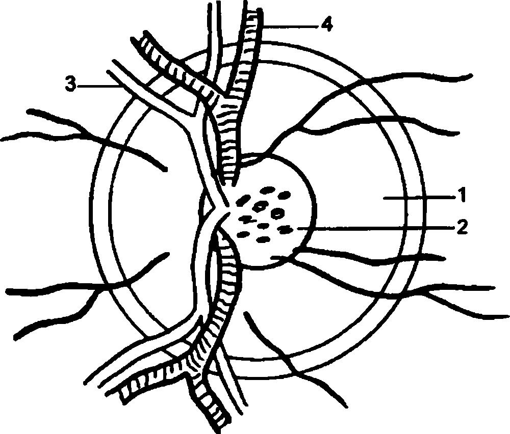 Анатомия и кровоснабжение