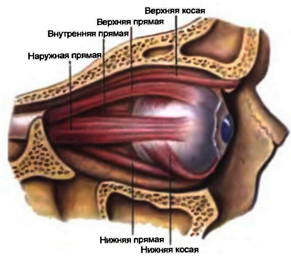 Анатомо–<a href='https://ours-nature.ru/lib/b/book/1007651589/35' target='_blank' rel='external'>физиологические</a> особенности