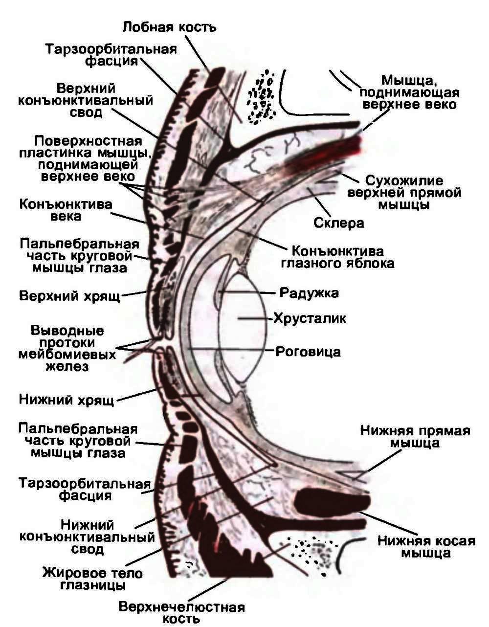 Веки (palpebrae)