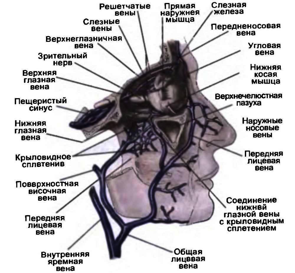 Венозная система органа зрения